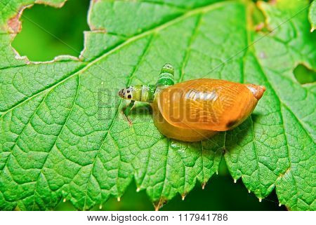Snail Antara affected by parasite Leucochloridium paradoxical