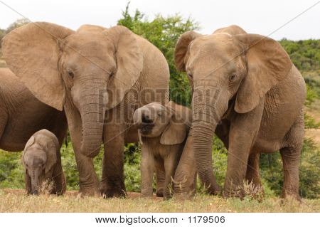African Elephant Cows And Calves 2