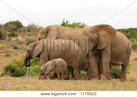 African Elephant Cows And Calves 3