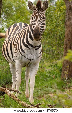 Burchells Zebra 2