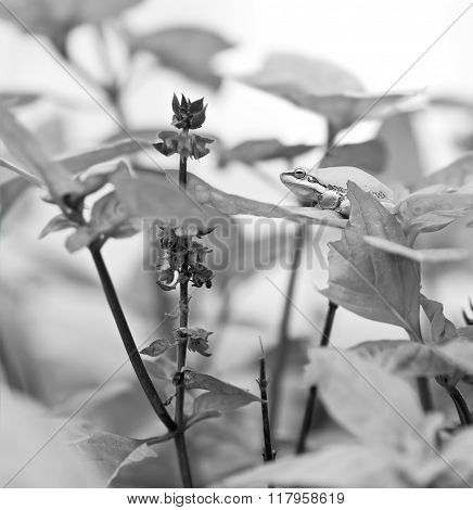Black And White Australian Tree Frog On Basil Leaf