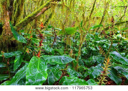 Wild Ginger in a tropical rainforest on Reunion Island. The roots are used as a cure for male impotence, to relieve headache, and consumed when suffering from the common cold.