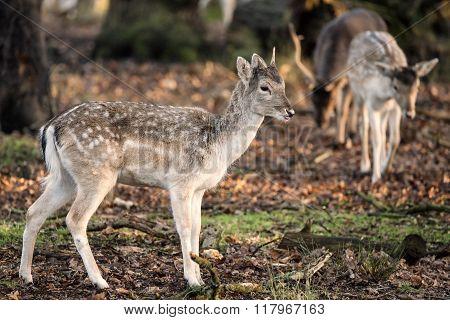 Beautiful Female Doe Fallow Deer Dama Dama Ina Forest