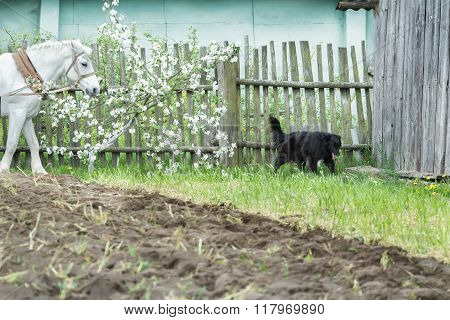 White work horse and black mongrel dog during spring ploughing fieldwork