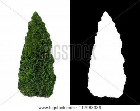 Decorative evergreen bush 2