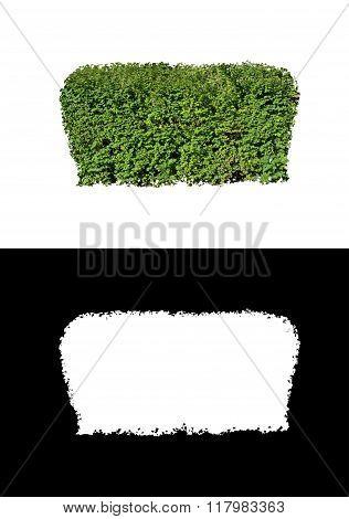 Decorative evergreen bush 3
