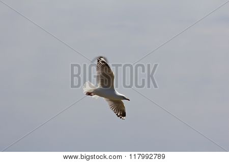 Soaring Seagull With Visible Wingtip Airstream