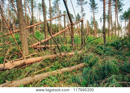 Windfall in forest. Storm damage. Fallen trees in forest after s