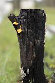 Australian Landscape Burnt Black Eucalypt Gum Tree Stump with orange Bracket Fungi poster