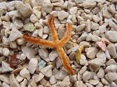 Castaway starfish lying over a beach with multicolour shingle cover, playing in a natural composition while trying to survive. poster