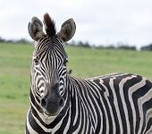 A Burchells Zebra (Equus quagga burchelli) in the Kruger National Park South Africa. poster