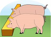 two large pigs eating at a trough poster