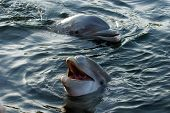 a dolphin smiles while swimming in a lagoon in florida. poster
