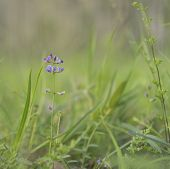 Australian Purple Wildflower Glycine Tabacina native flower of eucalypt grasslands poster