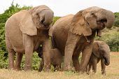african elephant family group of cows and calves poster