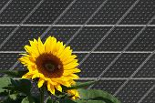 Sunflower with bees in front of solar panels poster