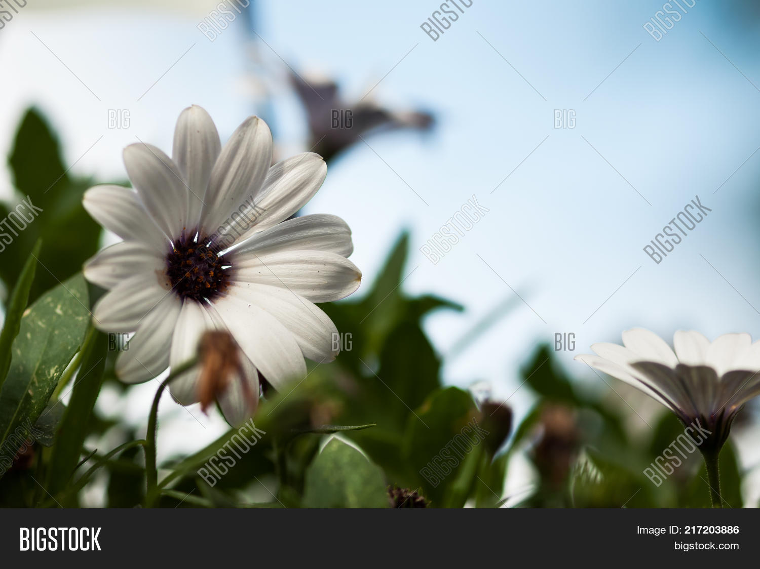White african daisy image photo free trial bigstock a white african daisy flower with a purple center rests among green leaves with a blue izmirmasajfo
