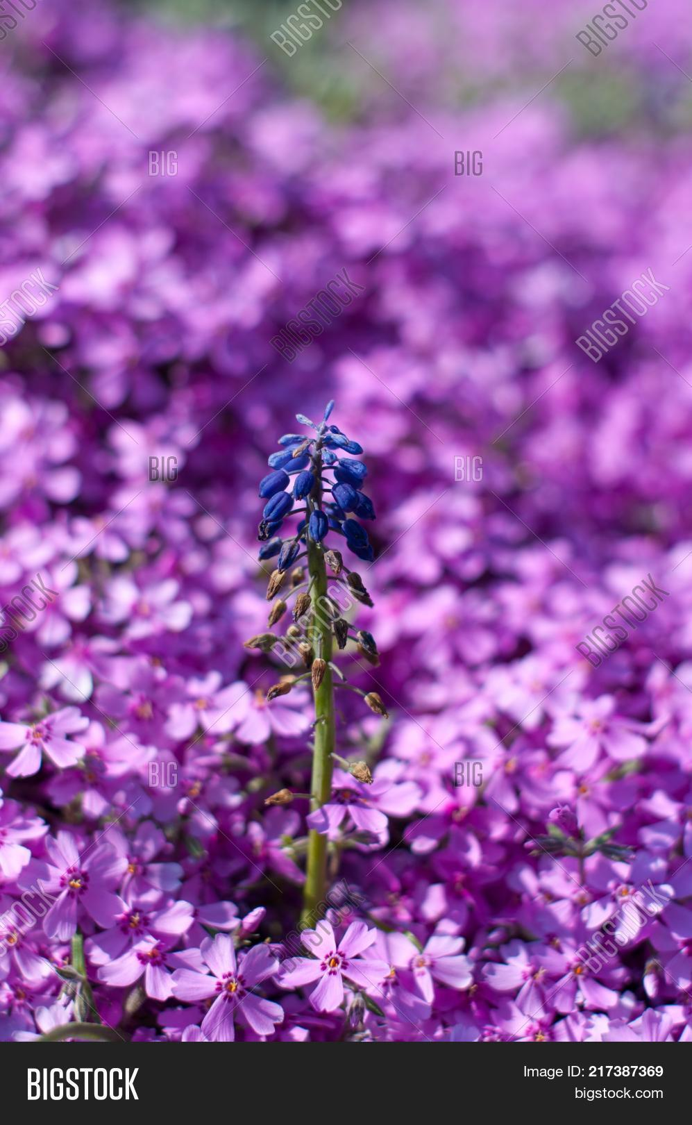 Tiny blue flower image photo free trial bigstock tiny blue flower is growing in the middle of purple flowers meadow in a city botanic izmirmasajfo