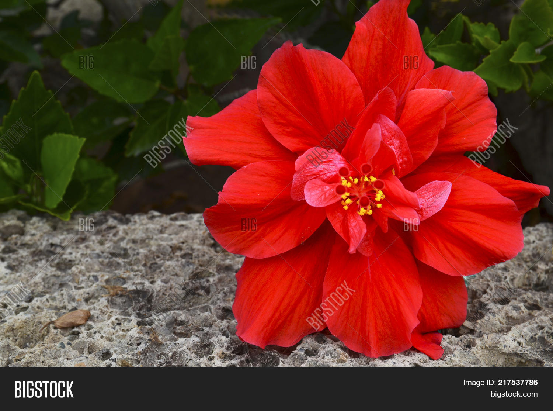 Red hibiscus flower image photo free trial bigstock red hibiscus flower china rose chinese hibiscushawaiian hibiscus in tropical garden izmirmasajfo
