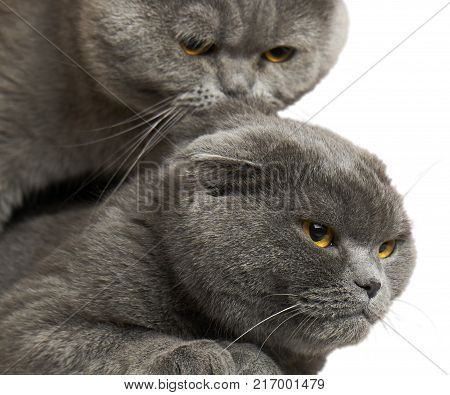Scotland lop-eared female cats and british shorthair male cat are mating. Isolated on white