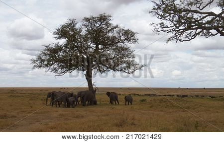 Elephant herd resting under tree and at far cape buffaloes herd grazing