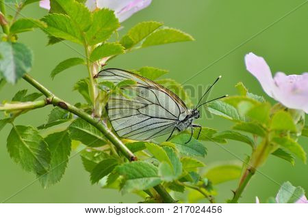 Aporia crataegi, Black Veined White butterfly in nature. White butterflies on wild roses