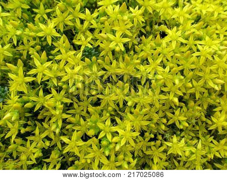 Brightly yellow homogeneous floral background of a lots of florets-stars Sedum acre. Beautiful sunny flowers of goldmoss stonecrop create a natural carpet effect