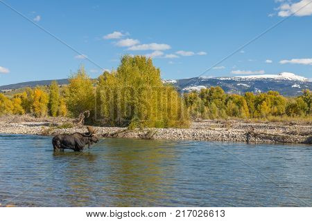 a bull moose along the Gros Ventre river in Grand TetonsNational Park Wyoming in the fall rut