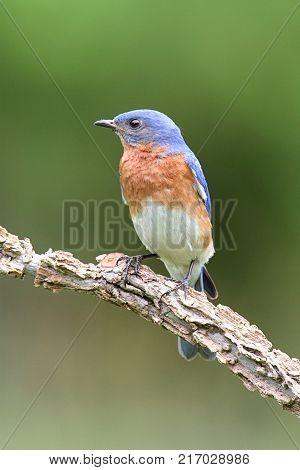 Male Eastern Bluebird (Sialia sialis) on a branch