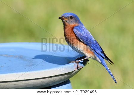 Eastern Bluebird (Sialia sialis) in a bird bath