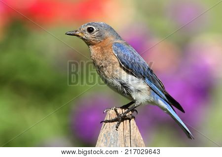 Female Eastern Bluebird (Sialia sialis) on a fence with a floral background