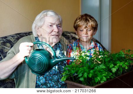 Active little preschool kid boy and grand grandmother watering parsley plants with water can at home. little child helping grandparents to grow herbs. Happy family: grandchild and senior woman