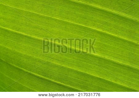 Banana leaf texture.Green tropical leaf background.Abstract green texture,nature background.Selective focus.