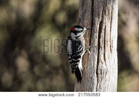 Downy wood pecker hanging from an old fence post
