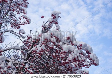 Rowan tree, mountain ash, with red berries in the snow, titmouse pecking, winter Wallpapers concept.