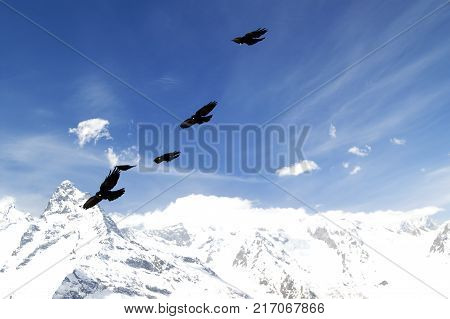 Flock of Alpine Chough (Pyrrhocorax graculus) flying in blue sky with clouds and winter snowy mountains at background. Caucasus Mountains, region Dombay.