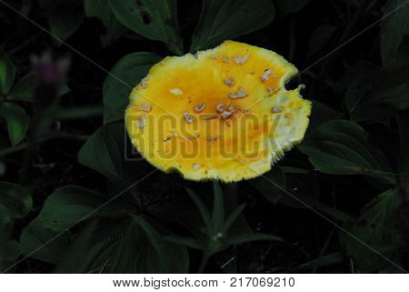 A close up of a wild yellow mushroom against a dark background of plants.  Note the nibbled edges.