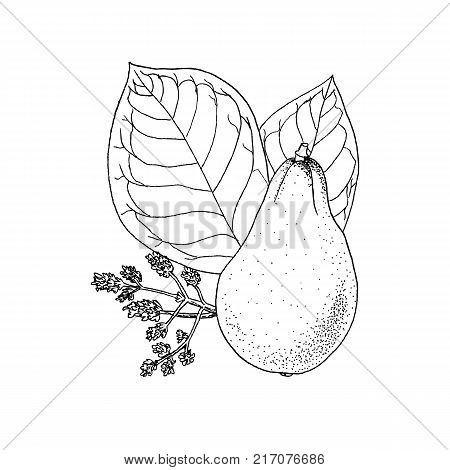 Monochrome  illustration drawing of avocado Persea Americana on white background