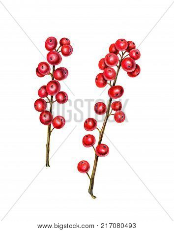 Two branches of ilex. Red winterberry. Christmas plant. Watercolor illustration isolated on white.