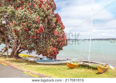 Traditional kiwi summer beach with flowering red Pohutukaka New Zealand Christmas tree sea and boats