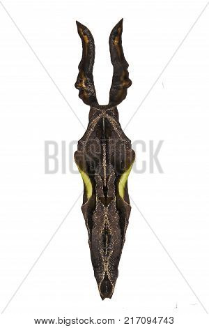 A black and green pupa with long donkey ear-like structures of the variable cracker butterfly, Hamadryas feronia, isolated on white background. Pupae is a stage between caterpillars and butterflies.