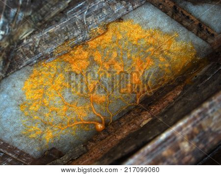 A yellow veiny plasmodium of a Physarum slime mold, or myxomycete, is crawling and moving on a substrate. Slime moulds are special organisms that gather from many microscopic unicellular amoebae
