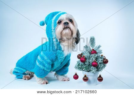 Shih tzu dog in blue sweater with small new year tree on white and blue background