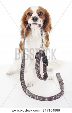 Cute cavalier king charles spaniel dog puppy on isolated white studio background. Dog puppy with leash lead. Waling time. Dog holding lead string.