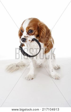 Cute cavalier king charles spaniel dog puppy on isolated white studio background. Dog puppy with collar. Dog holding pet collar. Cute.