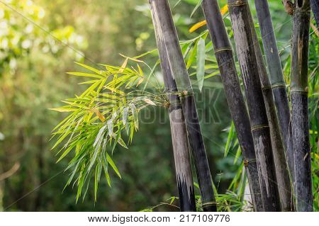clump black bamboo is species that are rare. Green bamboo background in nature