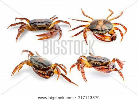 Collection Freshwater crab on white background. Ricefield crab in Thailand.