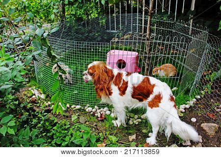Cute pet rabbit outdoor playground. Cage coop hutch. Lop eared rabbits bunny pets play in the garden. Cute bunnies outdoor photo. Animal playground in the garden. Cute.