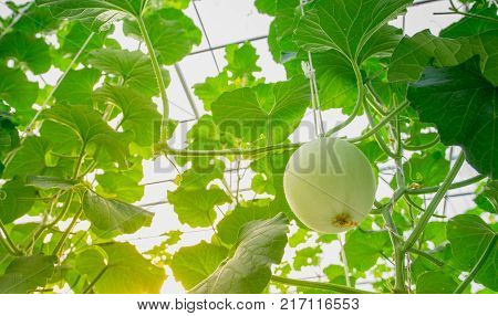 young green melon or cantaloupe growing in the greenhouse