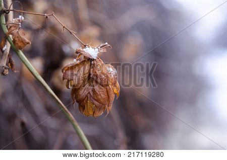Crystals of snow on a dried hop flower. Withered hop flower close-up.